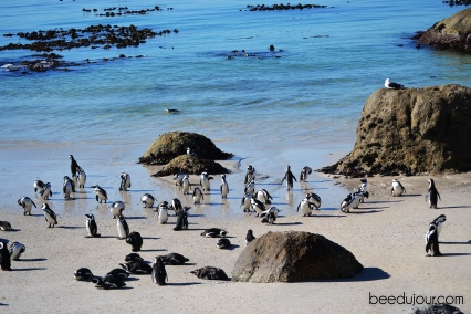 boulders beach wildlife
