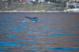 cape town whale watching humpback