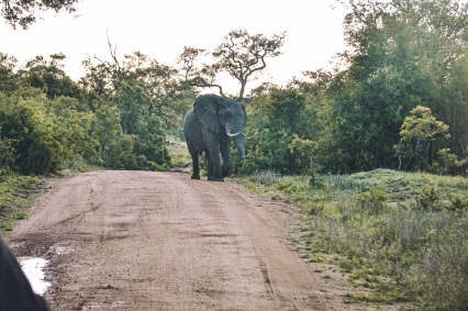 honey gude camps elephant on road