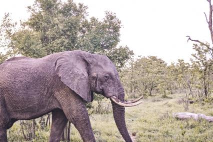 honey guide camps male elephant walk