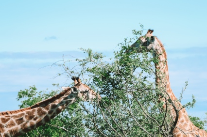honey guide manyeleti giraffe eating