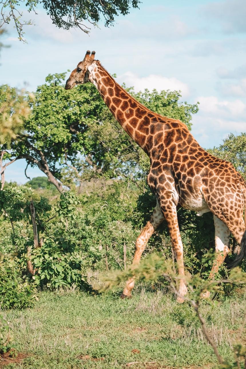 honeyguide safari giraffe 5