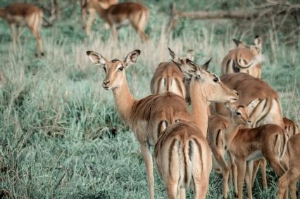 honeyguide safari impala 1