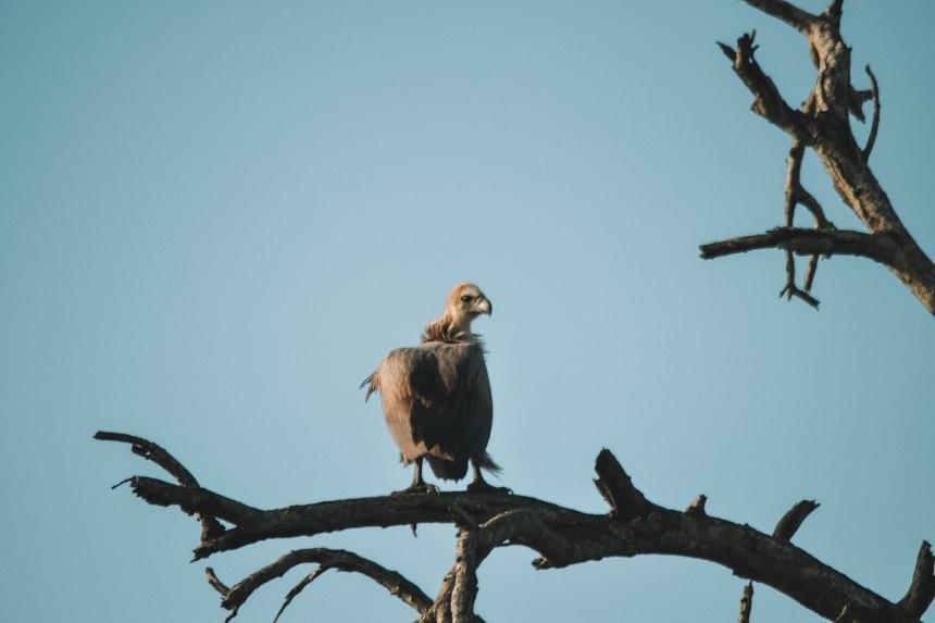 honeyguide safari vulture