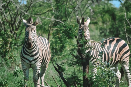 honeyguide safari zebra 2