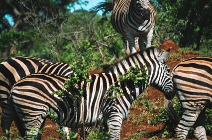 honeyguide safari zebra dazzle