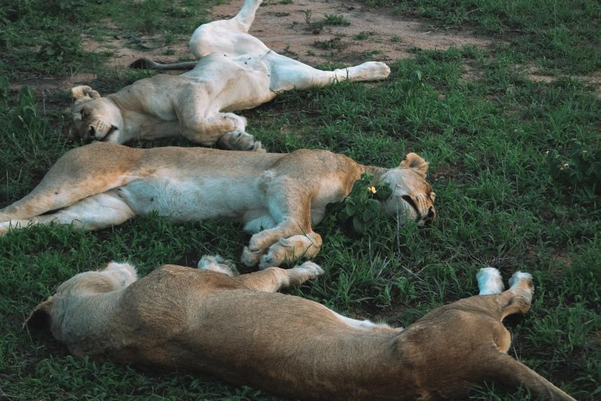 honeyguide safaro sleeping lion pride