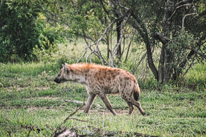 manyeleti hyena