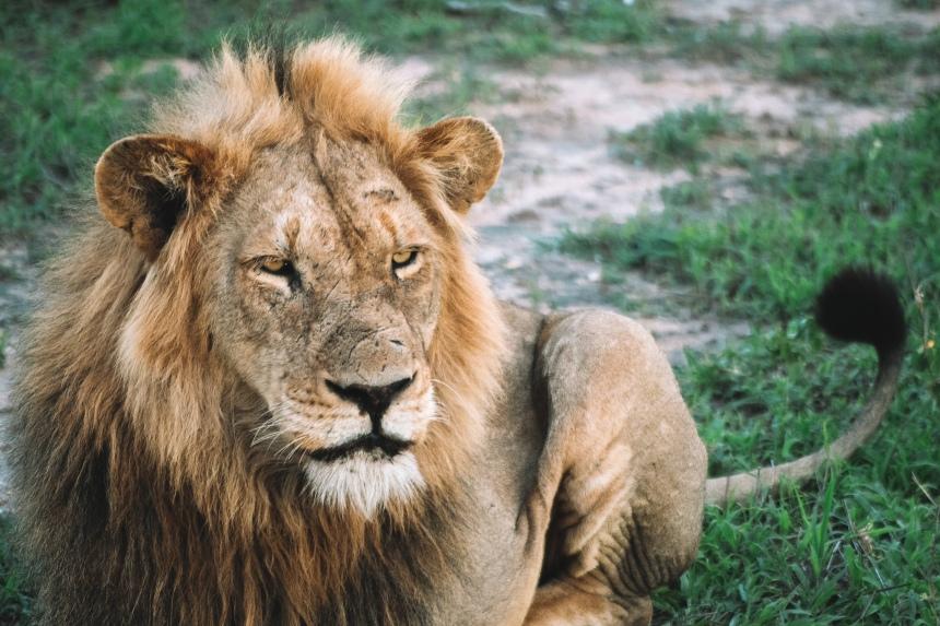 manyeleti male lion 2