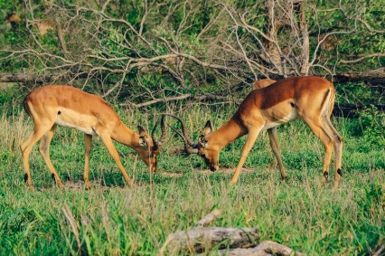 safari impala fight